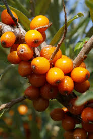 The fruit of the sea buckthorn bush. Photo courtesy of Google Images